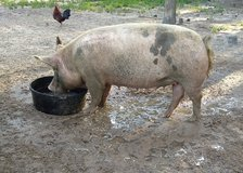 Large Sow for sale in Fort Polk, Louisiana