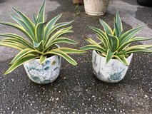 A Pair of Decorative Plant in Okinawa, Japan