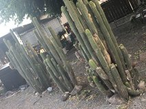 6 feet tall cacti in Vacaville, California