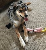 Australian Shepard mix dog free to good home in Fort Campbell, Kentucky