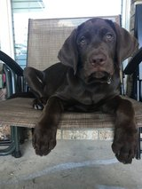 AKC Registrable 4 month old chocolate Labrador pup w/extras in Fort Hood, Texas