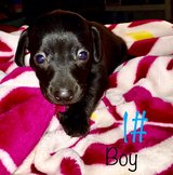 dachshund puppies in Fort Polk, Louisiana