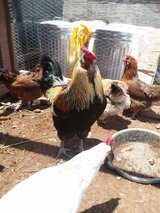 Young Chicken Flock in Alamogordo, New Mexico