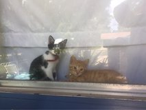 free kittens in Fort Polk, Louisiana