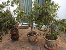 3 Plants: benjamina ficuses ready for new home /pots not necessarily included in Baumholder, GE
