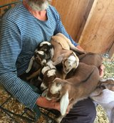 5 boys Nubian goats 2 months old in Yucca Valley, California