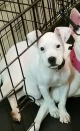 Pitbull Puppy in Fort Polk, Louisiana