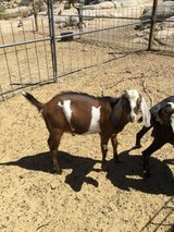 2 beautiful healthy Bucks Nubian Goats 18 months old in Yucca Valley, California