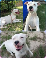 Female Pitbull in Fort Polk, Louisiana