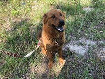 Retriever mix in Fort Polk, Louisiana