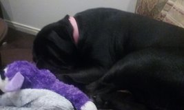 black lab in Fort Campbell, Kentucky