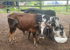 Registered 2 Year Old Zebu Bull - Price Reduced Again! in Fort Polk, Louisiana