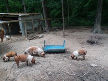 Feeder pigs in Conroe, Texas