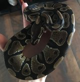 Ball Python in Columbus, Georgia
