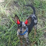 Male Chihuahua in Cleveland, Texas
