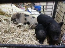 MINI PIG in Fort Campbell, Kentucky