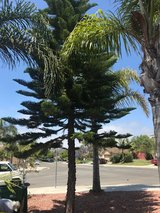Free Pine Tree in Camp Pendleton, California