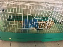 Free Guinea Pig in Fort Campbell, Kentucky