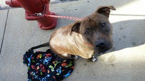 Sweet female pit mix needs loving home in Cherry Point, North Carolina