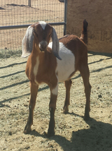 Nubian doeling in Yucca Valley, California