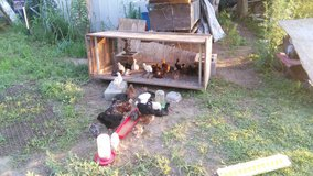 chickens and chicks in Camp Lejeune, North Carolina