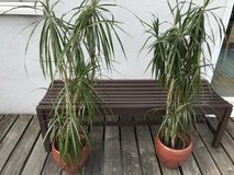 Plants x2 Dracaena in Ramstein, Germany
