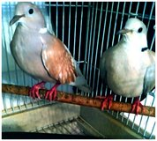ringneck doves in Chicago, Illinois