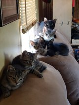 Kittens ready for their new home in Fort Leonard Wood, Missouri