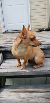 Female chihuahua 2 year old in Tomball, Texas
