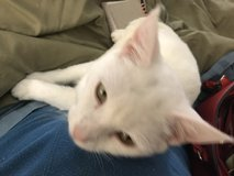 1 year old Beautiful white cat in Liberty, Texas
