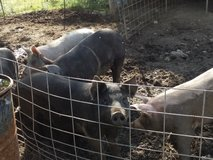 Hogs ready to butcher ! in Fort Leonard Wood, Missouri
