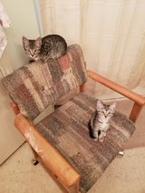 kittens in The Woodlands, Texas