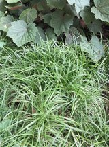 Japanese Blue Sedge Grass / Plant in Chicago, Illinois