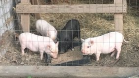 Mini Potbelly Piglets in Conroe, Texas