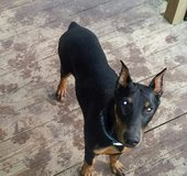 Beautiful Doberman in Livingston, Texas