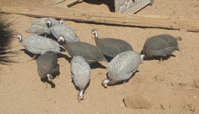 Small flock of Guinea fowl in Yucca Valley, California