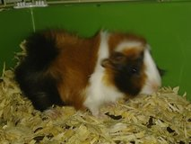 1 male baby guinea pig in Alamogordo, New Mexico