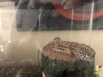 Leopard gecko in Vacaville, California