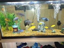 African Cichlids in Lawton, Oklahoma