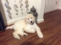 Goldendoodle Puppy Goldenretriever Poodle in Fairfax, Virginia