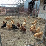 Laying Hens in Fort Leonard Wood, Missouri