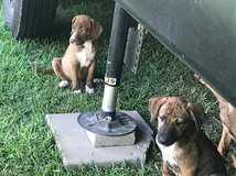 Boxer Mix puppies that need new homes in Leesville, Louisiana