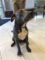 ****Update!  Owner and Blue Reunited!***Found Male Grey w/White Pit Bull in Houston, Texas
