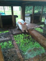 New Zealand Rabbits in DeRidder, Louisiana