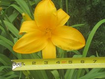 Giant Day-lily Flower Plant (Golden or Yellow Color) in Westmont, Illinois
