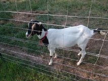 2 Lamancha  goats in Fort Leonard Wood, Missouri