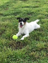 Lost Jack Russell in Camp Lejeune, North Carolina