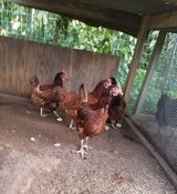 Heritage RIR Laying Hens in Lawton, Oklahoma