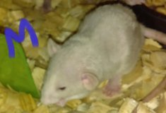 (5)--5 week old pet rats ready for new homes!!  :) in Fort Campbell, Kentucky