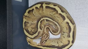 Disco inferno female ball python &Coral glow pastel male in Cherry Point, North Carolina